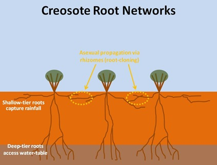 Creosote Root Networks