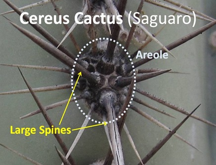 Cereus Spines