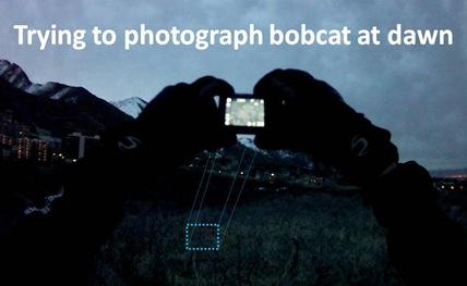 Snapping Bobcat pic
