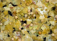 Ginkgo Seed Pods