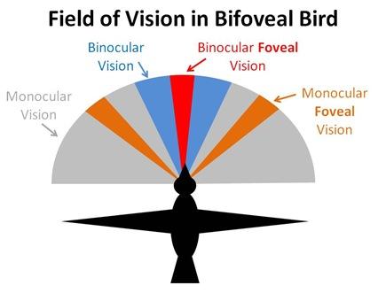 Bird Vision Field