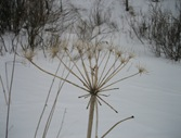 Cow Parsnip Winter