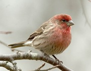 male house finch1