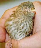 Sick Female House Finch