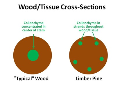 Collenchyma Distribution in Limber Pine
