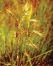 invasion_cheatgrass