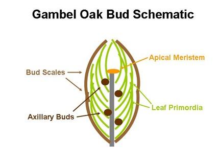Gambel Bud Schematic