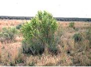 4wing saltbush