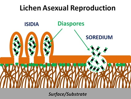 Lichen Asexual Repro