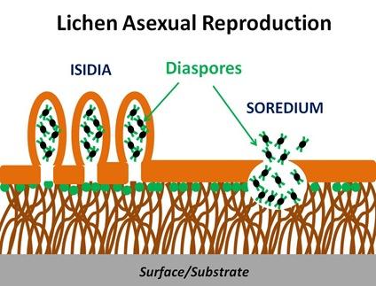Lichen Asexual Repro