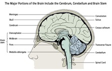 brain_portions_illus20