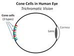 Human Eye Cones[4]