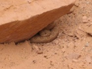 Rattler in Twin Corral 5 08