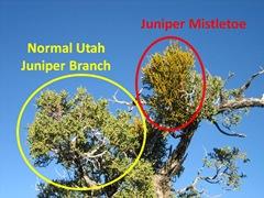 Juniper Mistletoe1 Caption