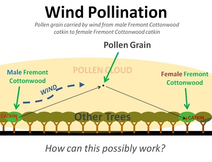 Wind Pollination1