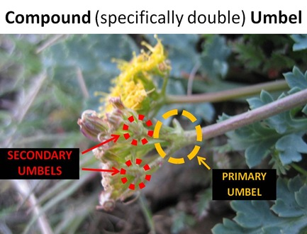 Double Umbel