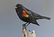 rwblackbird