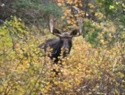 Moose1
