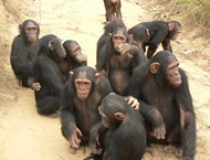 Chimps5