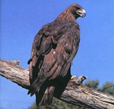 Goldeneagle2