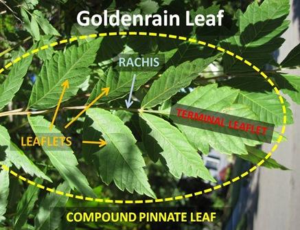 GRain Leaf