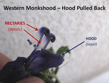 Monkshood Hood Back