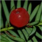 PYew Berry