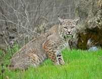 Bobcat-1