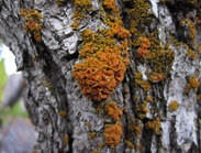 Lichen on Oak Jeremy