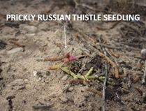 PRT Seedling