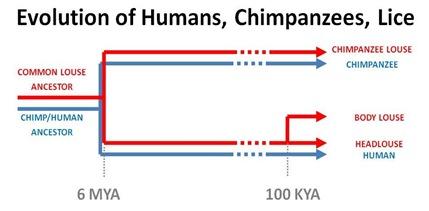 Evo Chimp Human Lice cut
