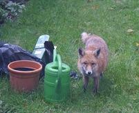UK Fox1
