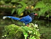 Formosan Blue Magpie (Urocissa caerulea)