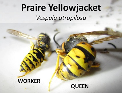 Prairie Worker Queen Caption