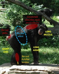 Chimp features