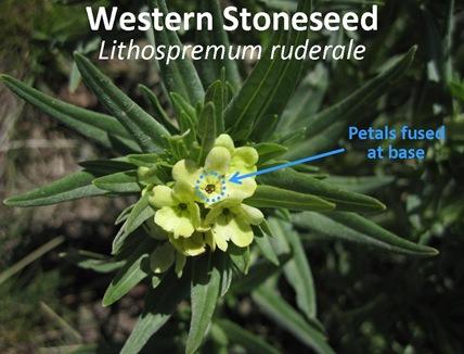 Western Stoneseed