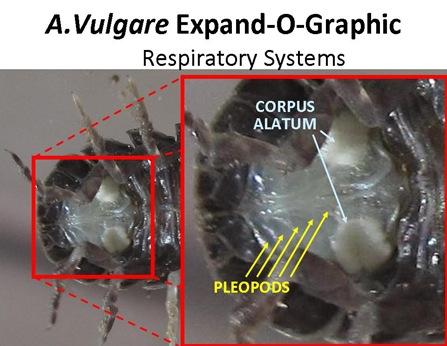 ExpandO Respiratory