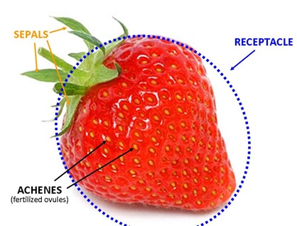 Strawberry Parts