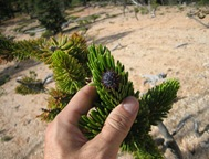 Bristlecone needles in hand