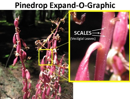 Pinedrop Expand-O