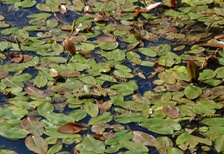 Floating Pondweed1
