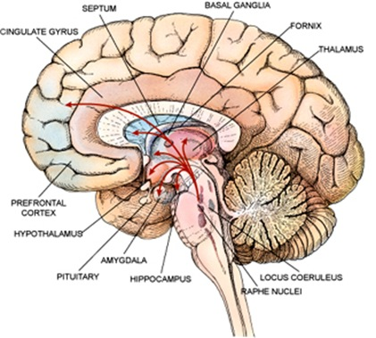 Spinal Cord Diagrams furthermore Diagram Of Nervous System Anatomy Picture furthermore Two Faces Of 3 Brains moreover Skeletondiagrams furthermore Mesh info. on divisions of the brain blank worksheet