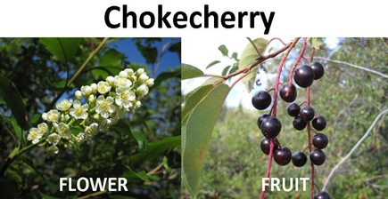 chokecherry compare