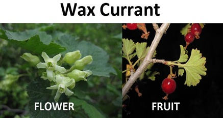 wax currant compare