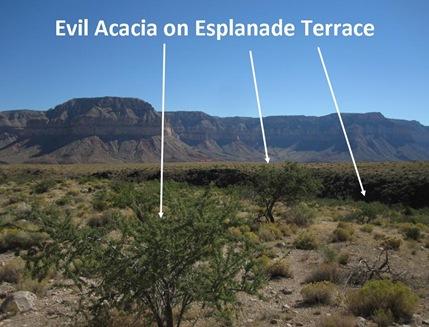 Acacia Esplanade