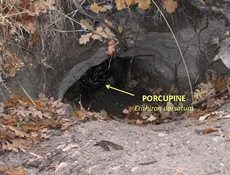 Porcupine burrow