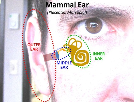 Mammal Ear1