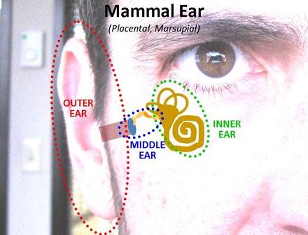 Mammal Ear1