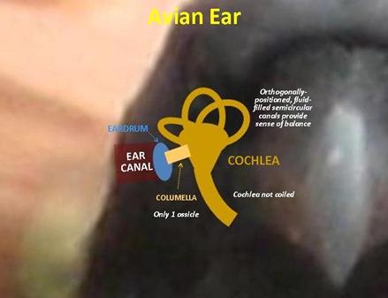 Bird Ear2
