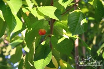 Cherry1Web